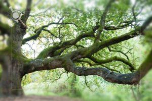 particolare della quercia delle streghe