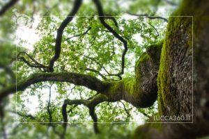 rami della quercia delle streghe