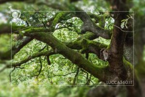 diramazioni quercia streghe